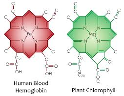 chlorophyll_blood